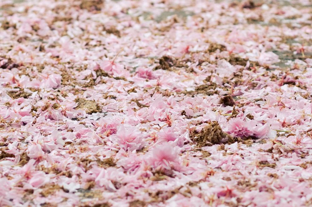 fleur-de-cerisier-00