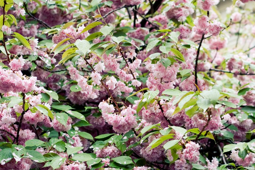fleur-de-cerisier-02