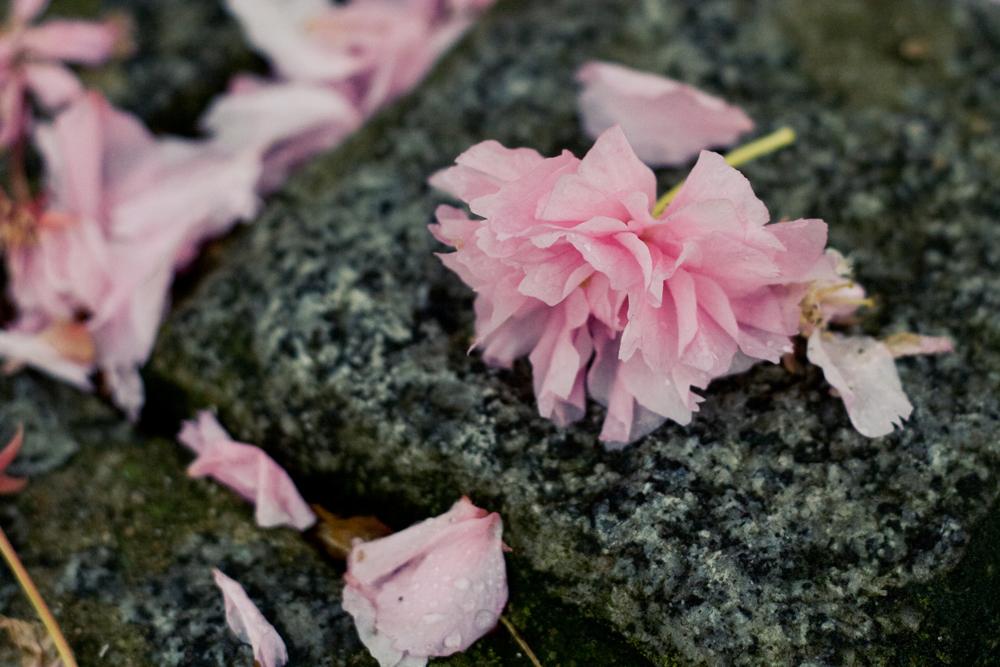 fleur-de-cerisier-04