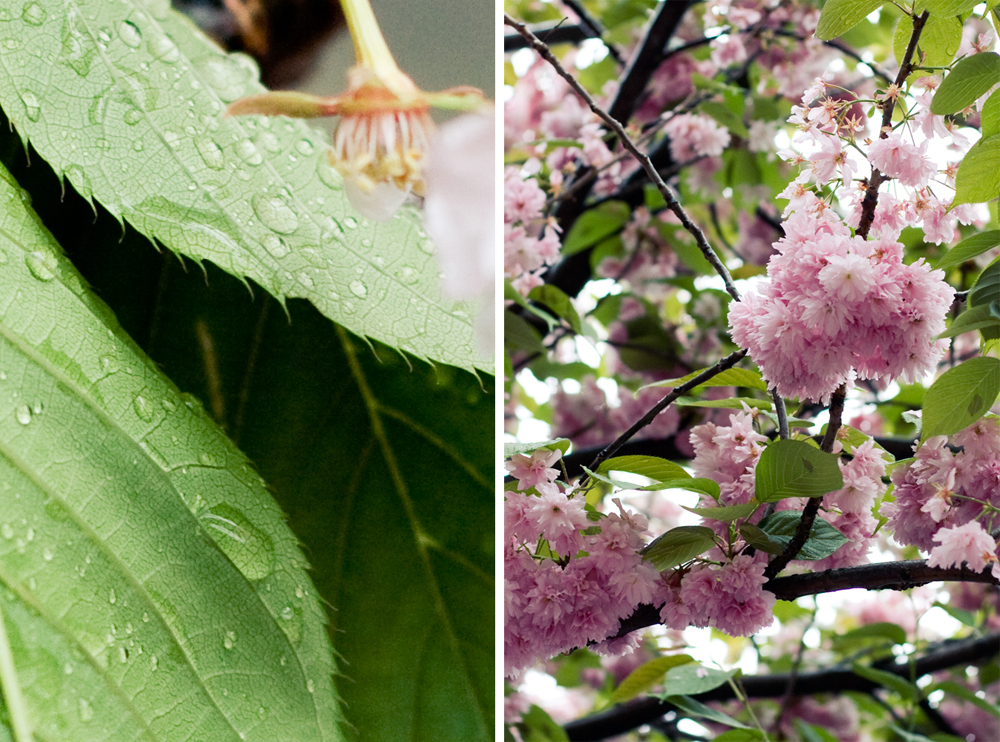 fleur-de-cerisier-12