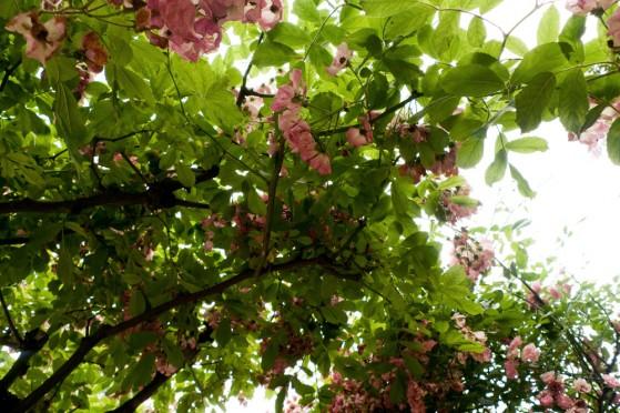 jardin-albert-kahn-roseraie-10