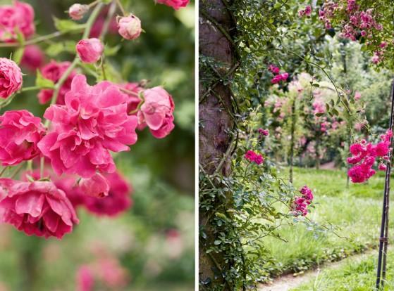 jardin-albert-kahn-roseraie-12