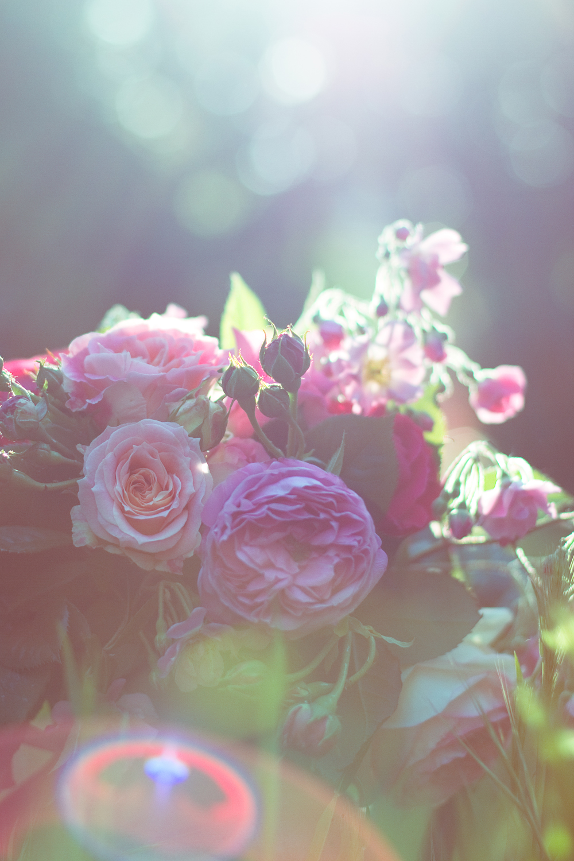 les-roses-de-lili-001
