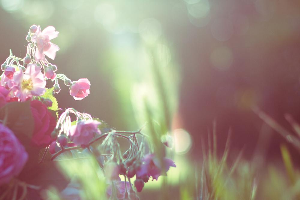 les-roses-de-lili-002