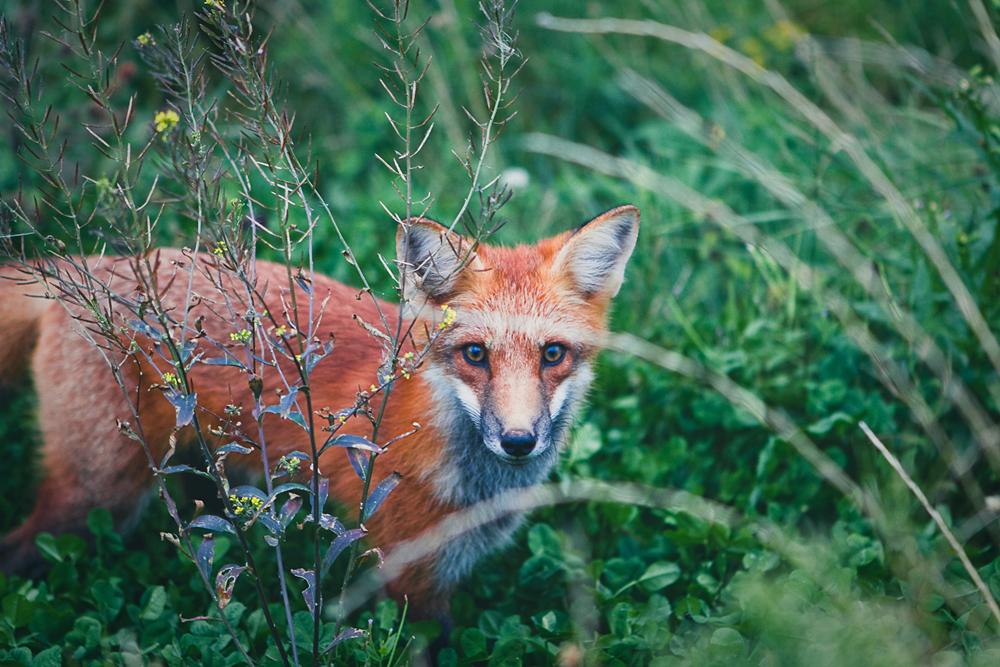 mr-fox-001
