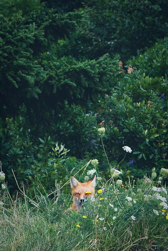 mr-fox-003a