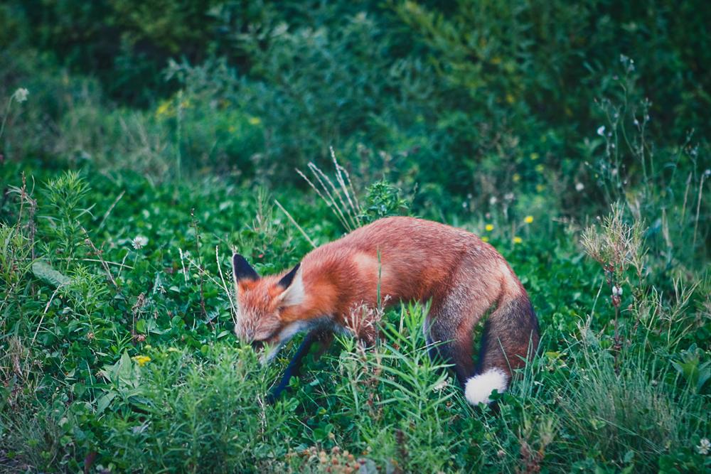 mr-fox-003b