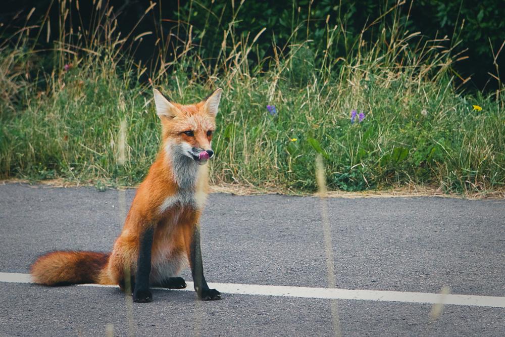 mr-fox-005