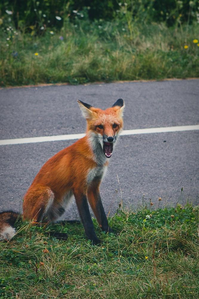 mr-fox-006a