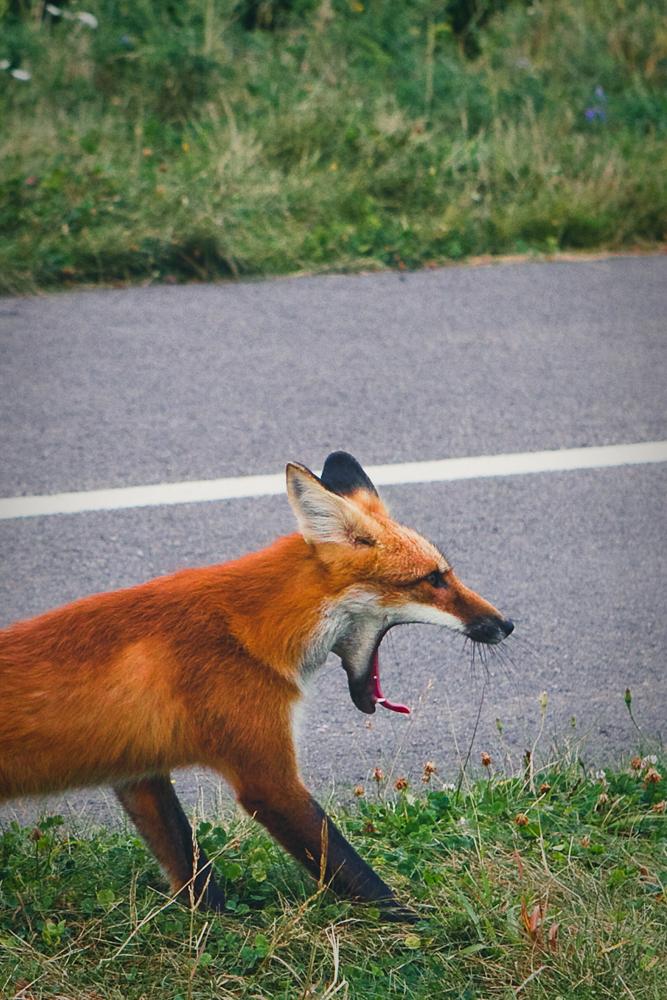 mr-fox-007b